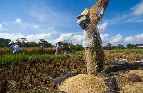 Arbete på risfälten