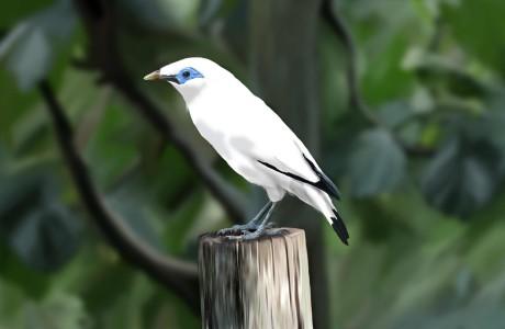 Den utrotningshotade fågeln Bali Mynah